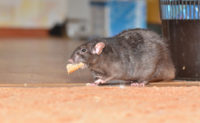This rat makes getting lunch look easy, but that has not been the case for many rodents during the COVID-19 quarantine. PHOTO: ANDWILL/ISTOCK / GETTY IMAGES PLUS/GETTY IMAGES