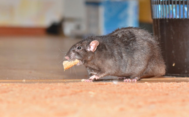 his rat makes getting lunch look easy, but that has not been the case for many rodents during the COVID-19 quarantine. PHOTO: ANDWILL/ISTOCK / GETTY IMAGES PLUS/GETTY IMAGES