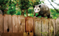 An opossum might eat ticks, but it also could spread ticks on your customer's property. PHOTO: GALINAST/ISTOCK / GETTY IMAGES PLUS/GETTY IMAGES