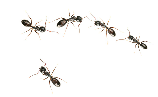 Pro Tips For Ant Control Success Pest Management Professional