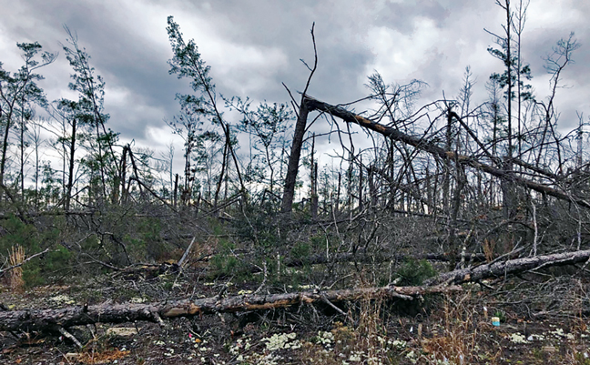 Many thin-diameter trees were able to survive Hurricane Michael, whereas thicker trees snapped. PHOTO: DR. THOMAS SHELTON/USFS