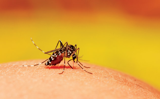 Aedes aegypti is a known carrier of dengue fever, Zika virus, and other illnesses. PHOTO: LOVESILHOUETTE/ISTOCK / GETTY IMAGES PLUS/GETTY IMAGES