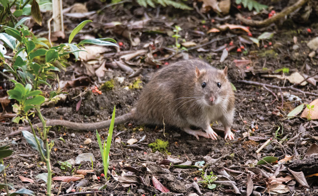 An Interview With A Norway Rat Pest Management Professional