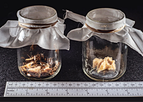 Baby food jars were used to live-trap B. germanica in the field, baited with white bread soaked in beer and greased around the top to prevent escape. PHOTO: JOHN OBERMEYER
