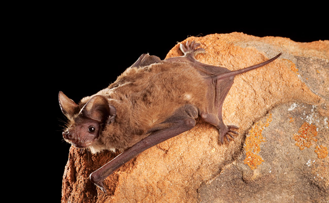 Mexican free-tail bat. PHOTO: COURTESY OF BAT CONSERVATION INTERNATIONAL/ MICHAEL DURHAM MINDEN PICTURES
