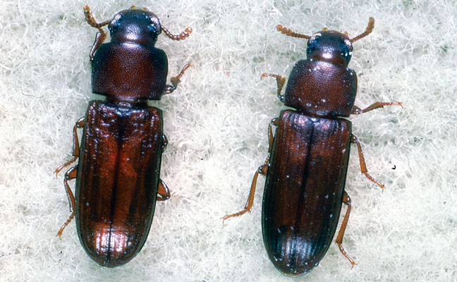 Adult specimens of the confused flour beetle (left) and the red flour beetle (right). PHOTO: DR. J.F. DILL