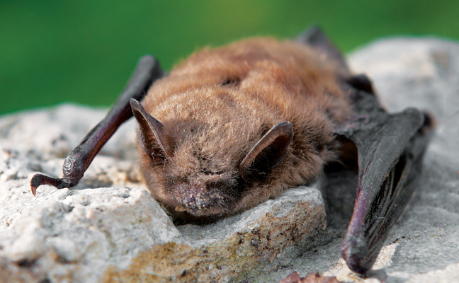 Little brown bat. PHOTO: GKUCHERA/ISTOCK / GETTY IMAGES PLUS/GETTY IMAGES