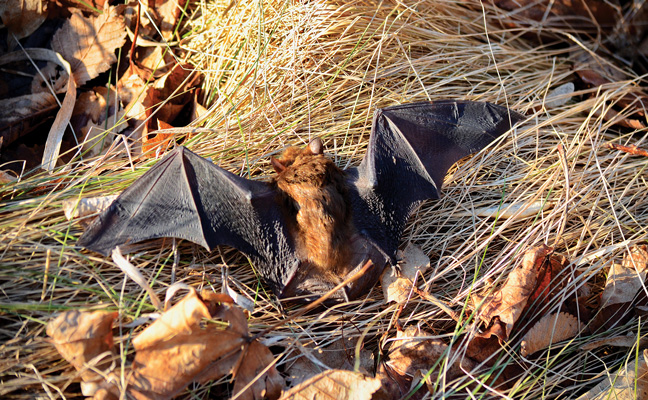 Big brown bat. PHOTO: BOB HILSCHER/ISTOCK / GETTY IMAGES PLUS/GETTY IMAGES