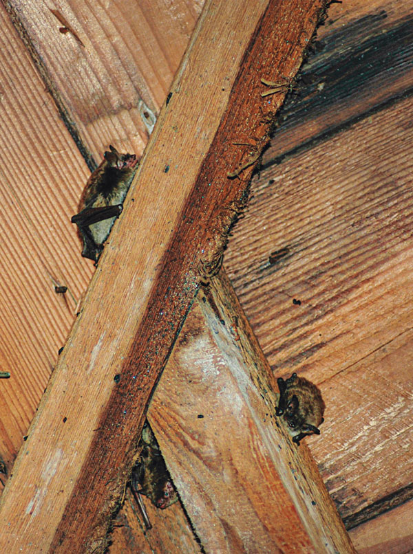 It can take more than one visit to rid an account of bats, even if the client doesn't notice their presence. PHOTO: ERIC ARNOLD