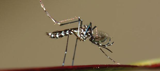 Asian tiger mosquito (Aedes albopictus) PHOTO: ISTOCK.COM/IMNATURE