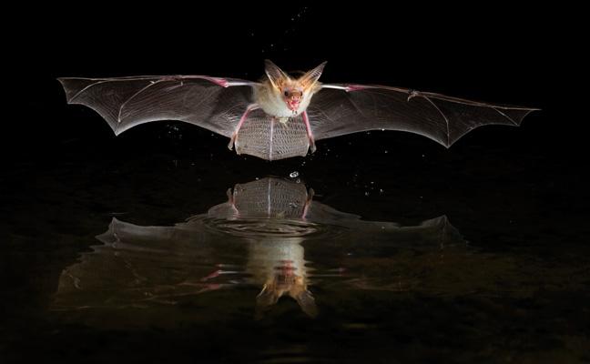 Pallid bat. PHOTO: DANITA DELIMONT/SHUTTERSTOCK.COM