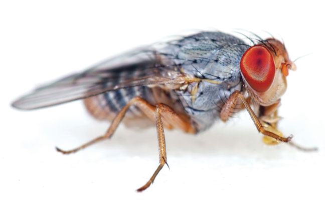 Like most small fly species, fruit flies (Drosophilidae) aren't terribly picky about where they gather and multiply. (PHOTO: ARLINDO71/E+/GETTY IMAGES)