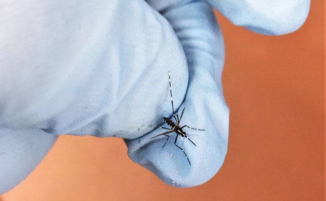 The Asian tiger mosquito  is a container breeder that never flies very far from home. PHOTO: MARK SHEPERDIGIAN